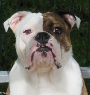Les Bulldog Anglais de l'affixe de la Garenne en Hurepoix