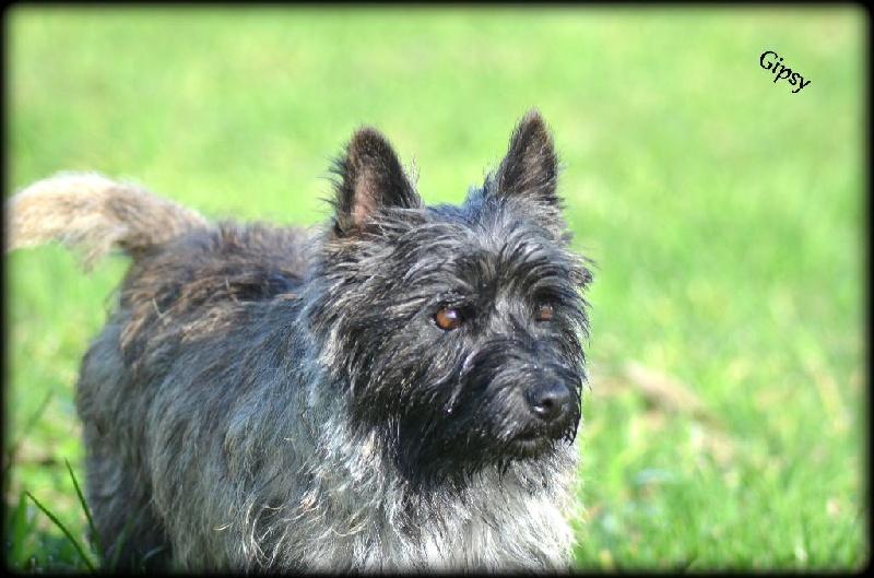 Les Cairn Terrier de l'affixe de la vallée Caid