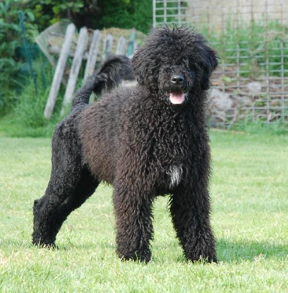 Chien - Elevage Wizlo - eleveur de chiens Chien d'eau