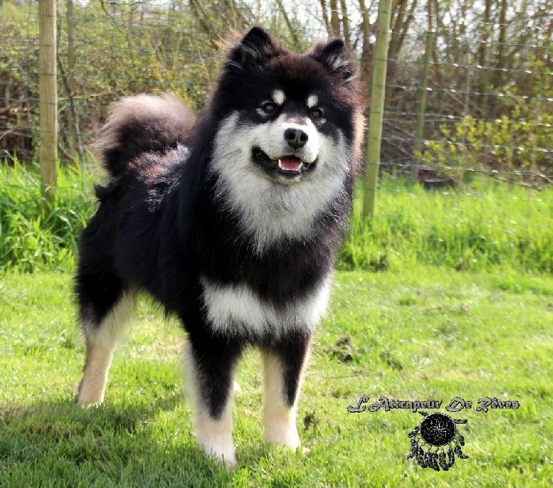 peikkovuoren revontuli chien de race toutes races en tous departements france inscrit sur chiens. Black Bedroom Furniture Sets. Home Design Ideas