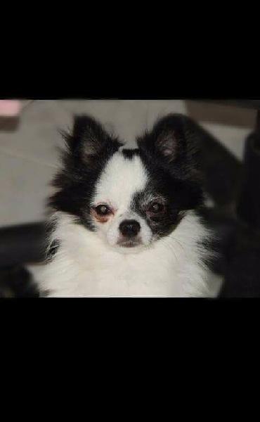 Les Chihuahua de l'affixe Du Massif De La Treille