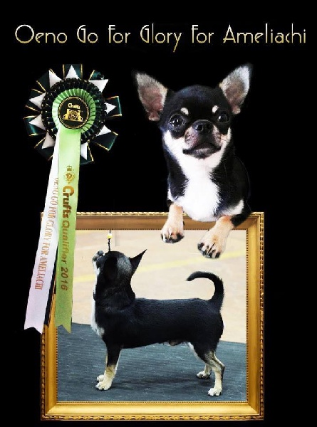 Chihuahua - oeno Go for glory for ameliachi