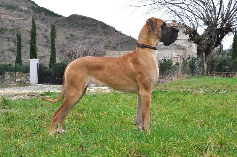 Les Dogue allemand de l'affixe De Peredur
