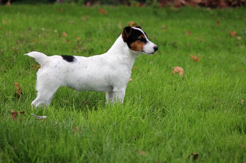 Jack Russell Terrier - Linotte des Feux Celtiques
