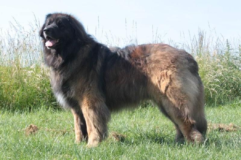 lionstar's Noble royal