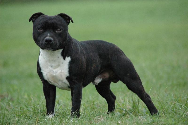 Les Staffordshire Bull Terrier de l'affixe Du Domaine De L'harmonie