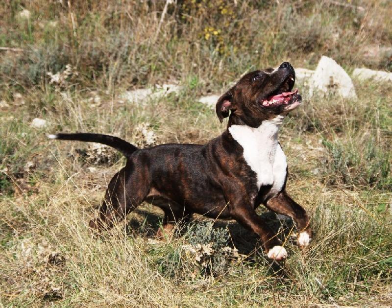 Les Staffordshire Bull Terrier de l'affixe Du Rocher Des Ducs