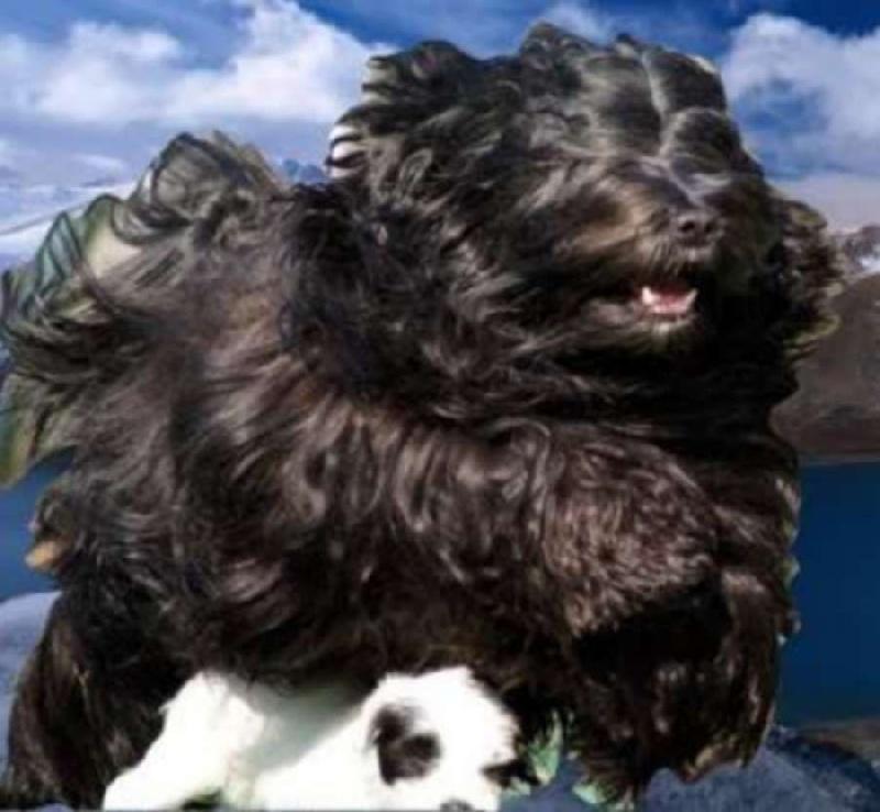Les Terrier tibetain de l'affixe de Ling Dechen