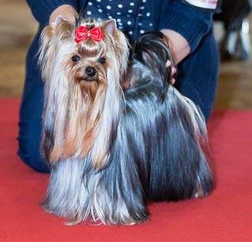 Yorkshire Terrier - Jeux interdit des Bruyères de Line