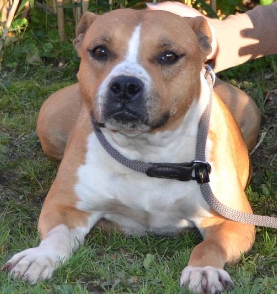 Z Force American Staffordshire Terrier Make up Tipit z hanky ...