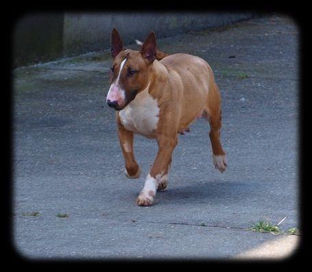 Les Bull Terrier de l'affixe Du Monde Des Bulls