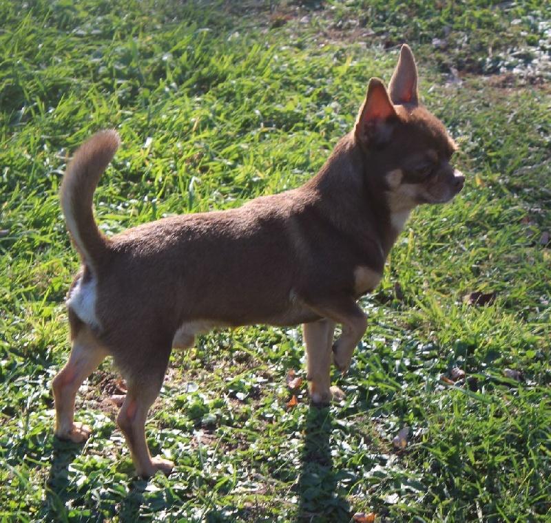 Chihuahua - James bond des Mille et une Patte