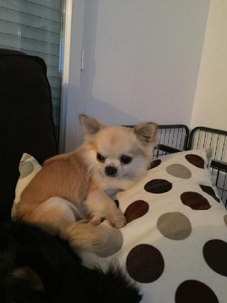 Les Chihuahua de l'affixe Du Haut De Montfort