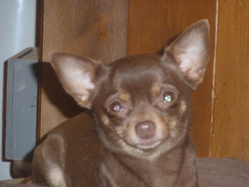 Chihuahua - Irony Of Little Dog's Paradise