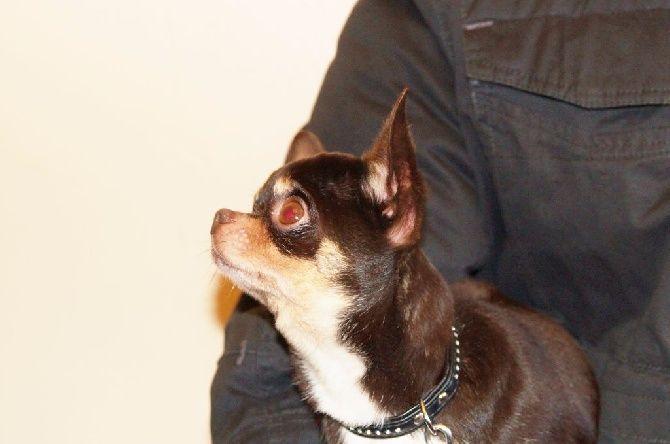 Chihuahua - J&j sissi