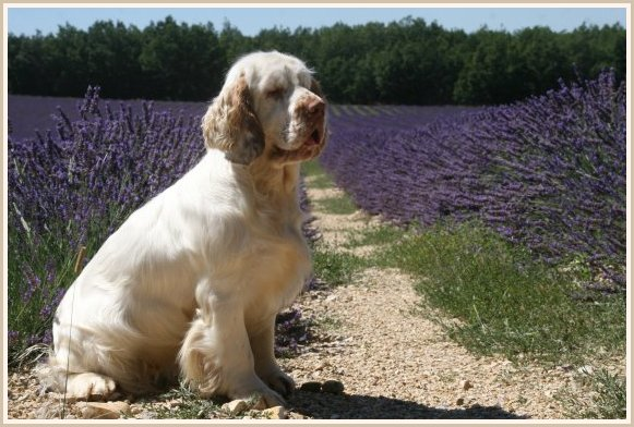 Les Clumber Spaniel de l'affixe of Cookies and Cream