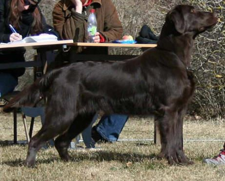 Flat Coated Retriever - CH. comics Swing it brownie