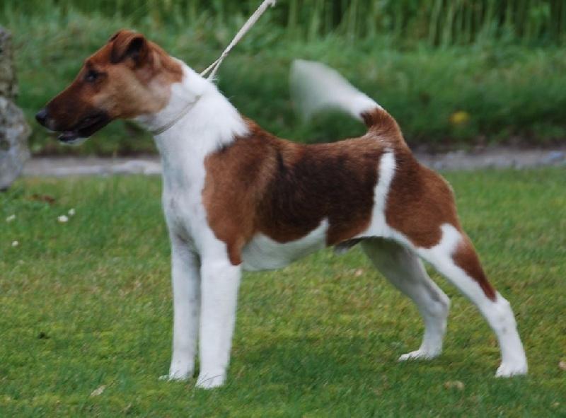 belfox original chien de race toutes races en tous departements france inscrit sur chiens de france. Black Bedroom Furniture Sets. Home Design Ideas