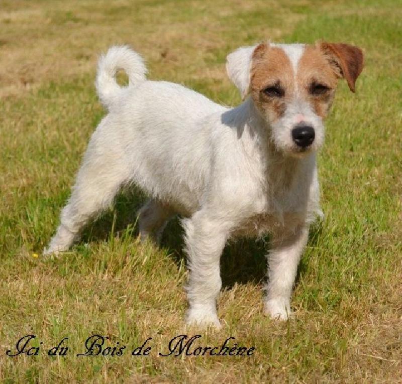 Jack Russell Terrier - Ici du bois de Morchène