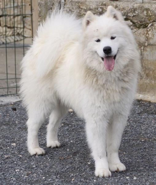 Chien - Elevage Of bloom white - eleveur de chiens Samoyède