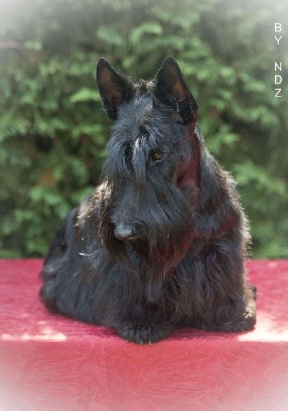 Le Standard de la race Scottish Terrier sur Atara.com