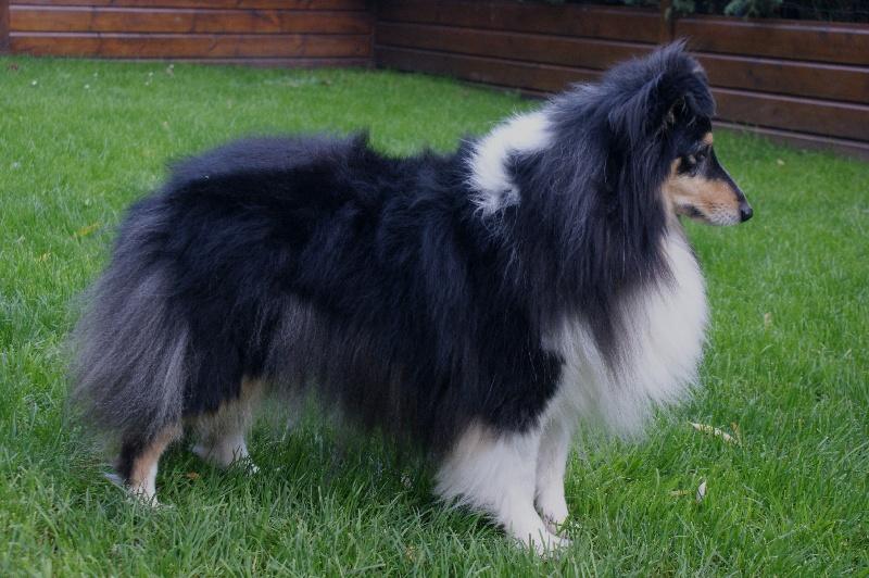 Les Shetland Sheepdog de l'affixe Des gardiens des trois magots