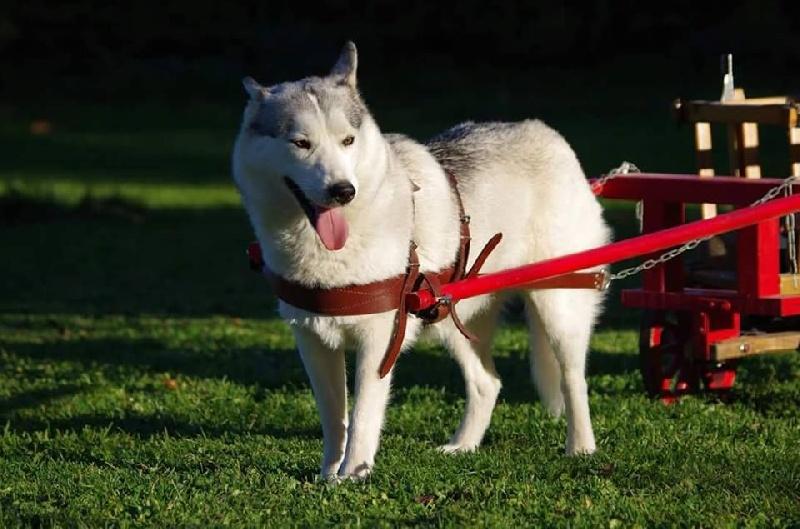 Les Siberian Husky de l'affixe Howling Winds Of Winter