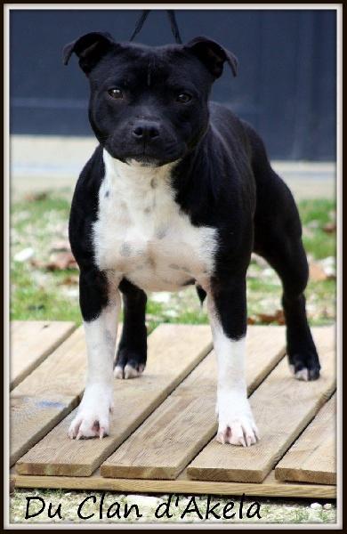 Staffordshire Bull Terrier - Jolie rosie Du Clan D'Akela