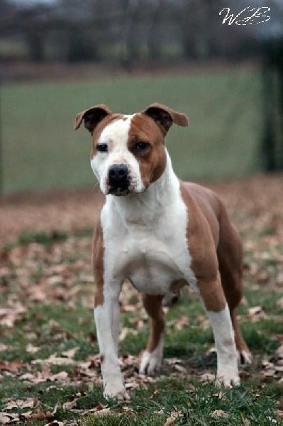 Les American Staffordshire Terrier de l'affixe of Belair Family