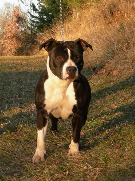 Chien american staffordshire terrier caractere