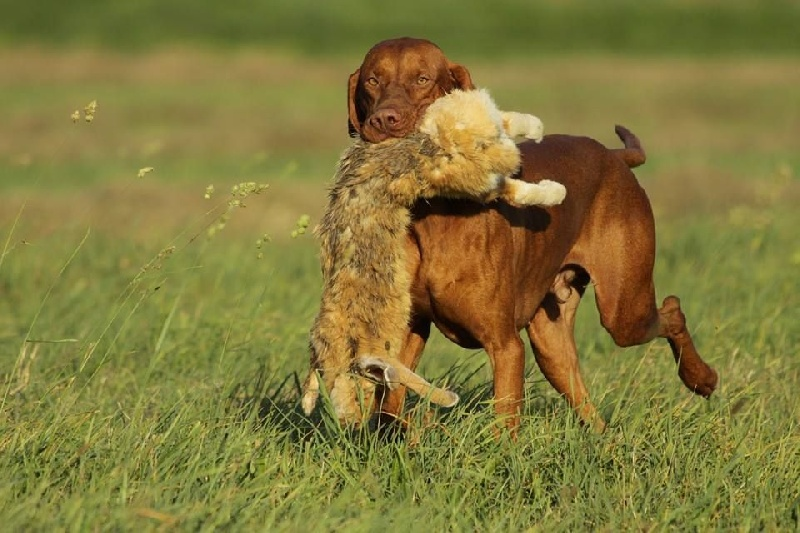 Gercei vadasz zenith dit drago chien de race toutes races en tous departements france inscrit - Braque hongrois a poil court ...