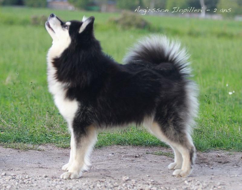 chien elevage du pays de l 39 aurore bor ale eleveur de chiens chien finnois de laponie. Black Bedroom Furniture Sets. Home Design Ideas
