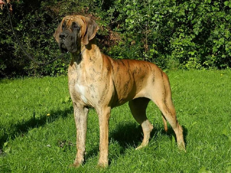 chien elevage du jardin de l 39 olympe eleveur de chiens dogue allemand. Black Bedroom Furniture Sets. Home Design Ideas