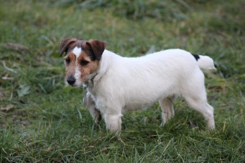 Les Jack Russell Terrier de l'affixe Catching Spots