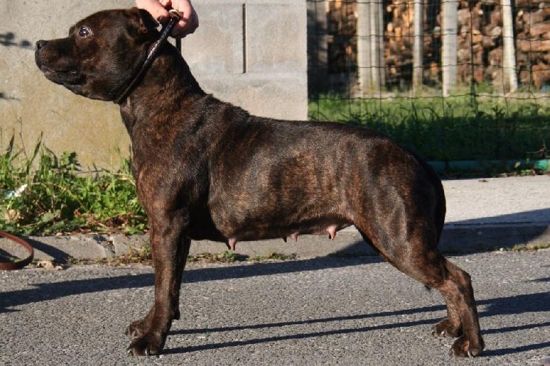 Les Staffordshire Bull Terrier de l'affixe Des Gardiens Du Rêve Eternel