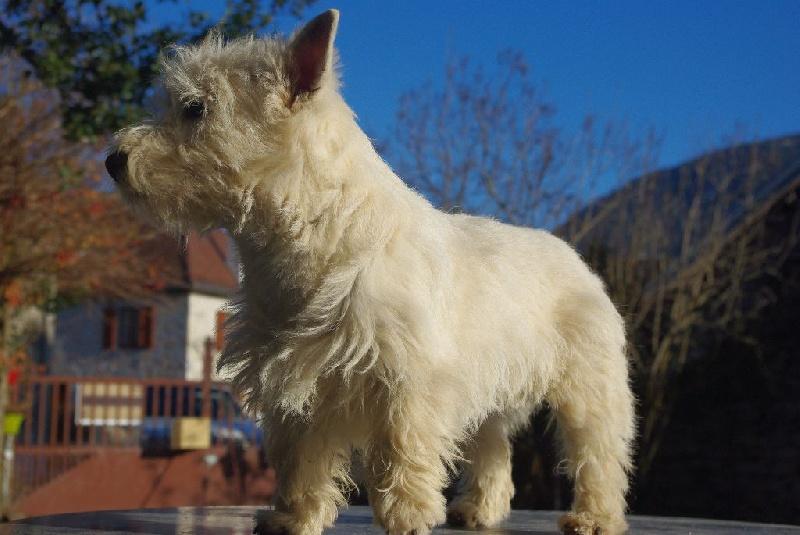Chien - Elevage Christelle Guedes - eleveur de chiens West