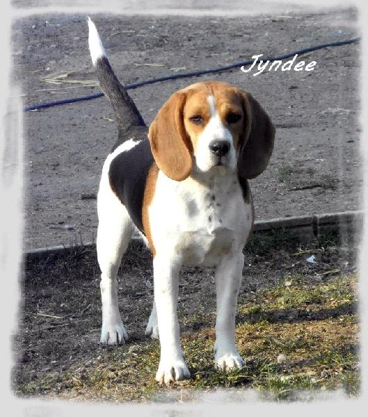 Les Beagle de l'affixe Du Domaine De Malokyty Hateya