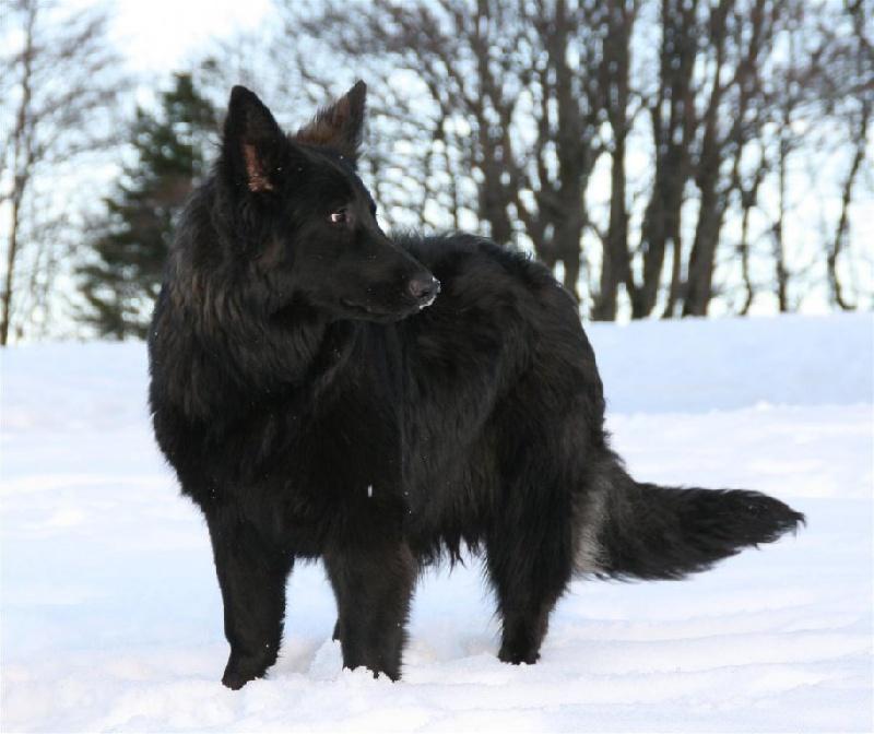 Fabuleux Chien - Elevage de la légende du loup noir - eleveur de chiens  CR81