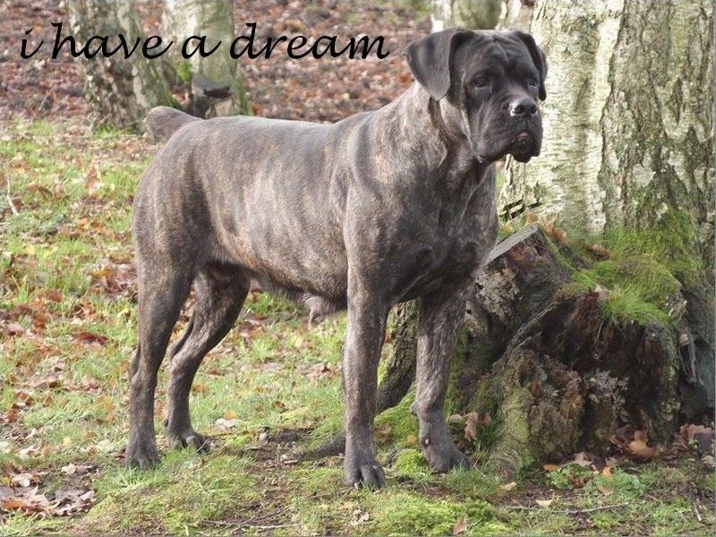 Les Cane Corso de l'affixe I have a dream