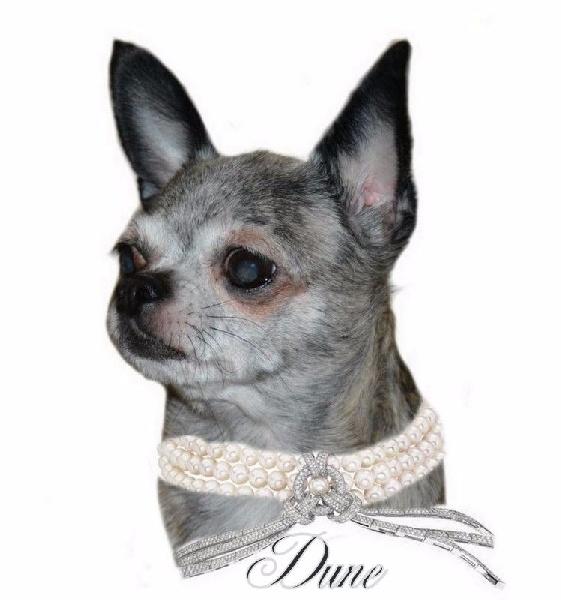 Les Chihuahua de l'affixe O'sborg Of Love