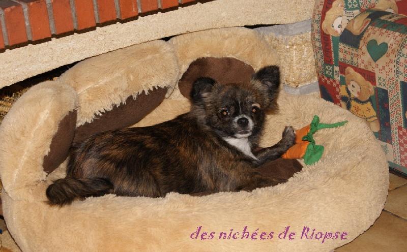 Chihuahua - Lili des plaines de cornouaille