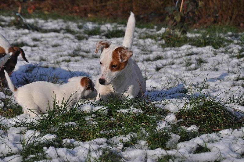 Jack Russell Terrier - Lexigthon du Domaine De Léon De La Seille