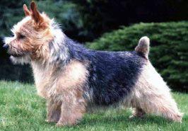 Le Standard de la race Norwich Terrier sur Atara.com