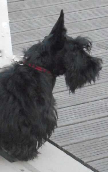 Scottish Terrier - Like it du logis d'ayoma