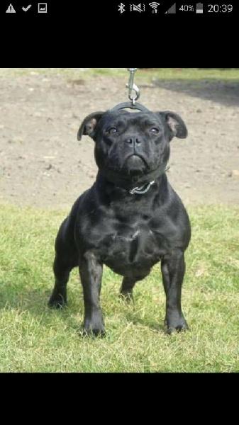 Les Staffordshire Bull Terrier de l'affixe Du Royaume De Canna