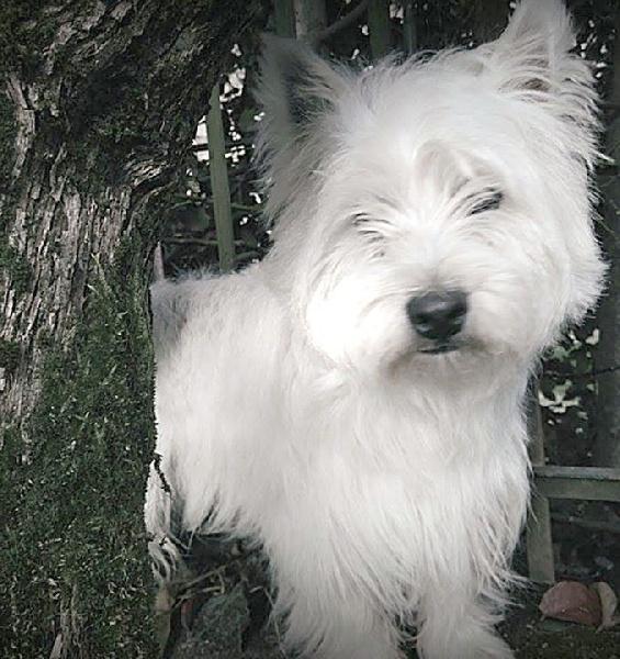 Les West Highland White Terrier de l'affixe au Clos d'Autrefois