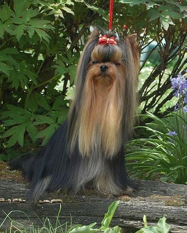 Yorkshire Terrier - Delon love De la vierge doree