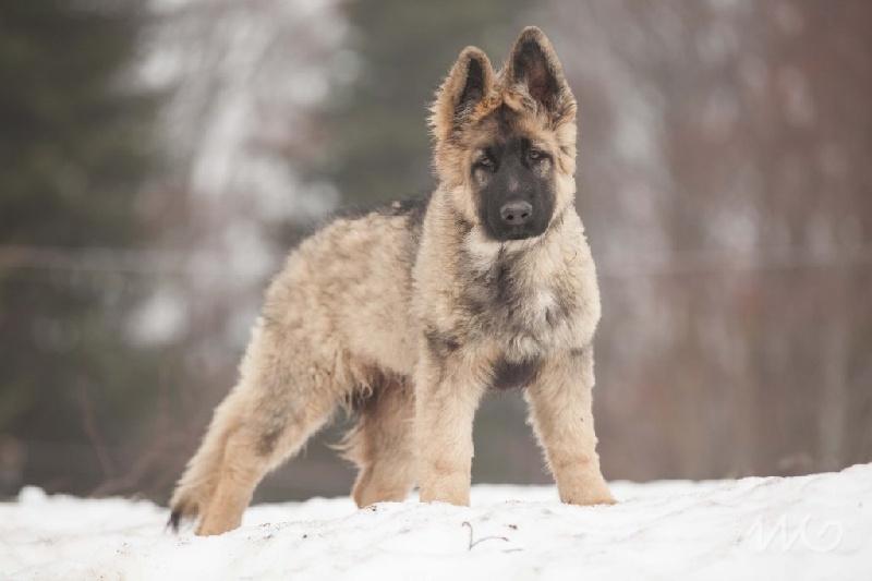 Nouvel Chien - Elevage de la légende du loup noir - eleveur de chiens ZR-43