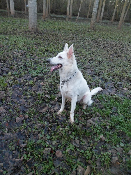 Les Berger Blanc Suisse de l'affixe Of Daylight's Guardians