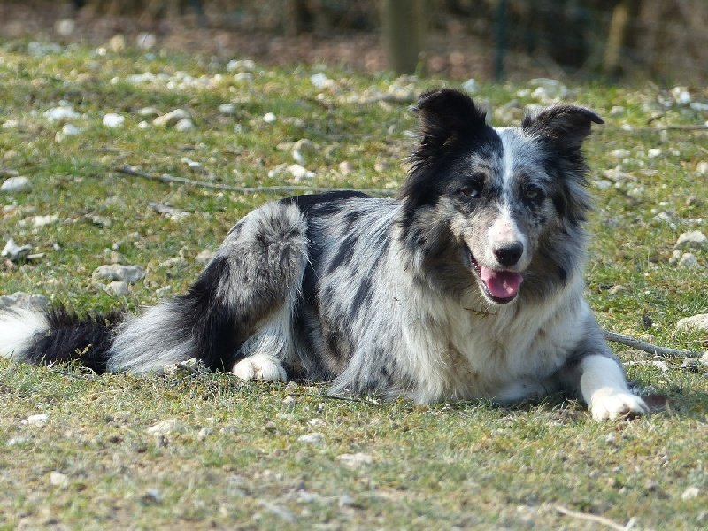 Les Border Collie de l'affixe des Ecuries du Conti